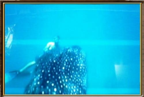 Requin baleine0