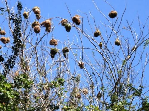 L'arbre à nids