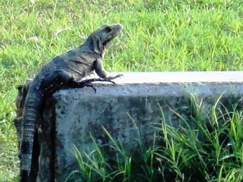 Bain de soleil de l'iguane