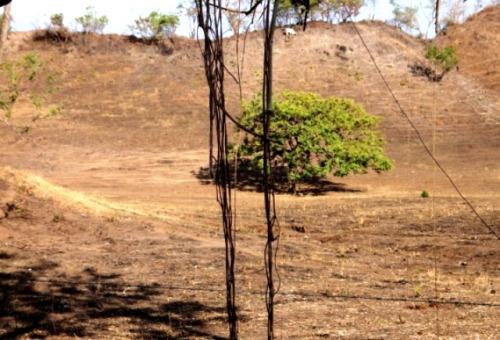 Des lianesd'un arbre qui plongent vers le sol pour s'enraciner!