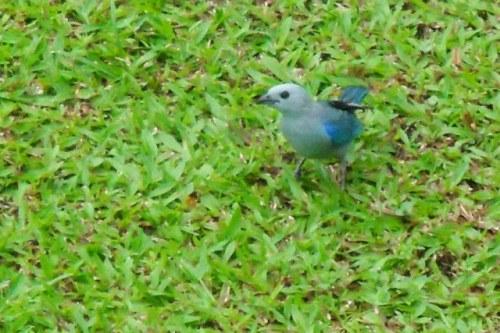 L'oiseau bleu dans l'herbe