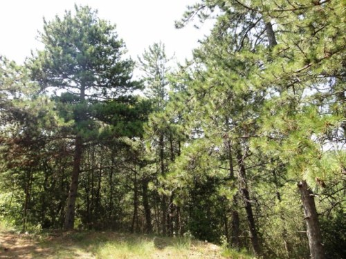 Bois de pins environ 6000 m2