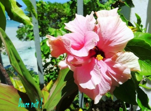 La première fleur d' hibiscus de mon jardin face à la mer !